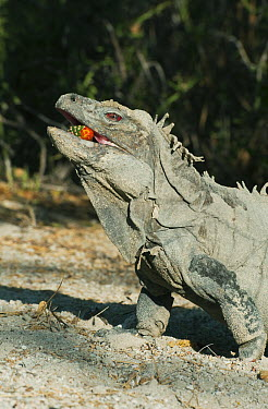 Ricord's Iguana (Cyclura ricordi) feeding on fallen cactus fruit, Lago Enriquillo National Park, Dominican Republic  -  Kevin Schafer