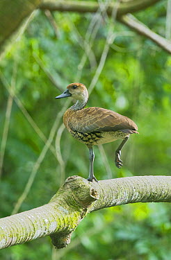 West Indian Whistling-Duck (Dendrocygna arborea) roosting in tree, Dominican Republic  -  Kevin Schafer