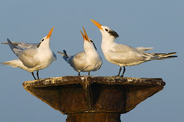 Royal Tern (Thalasseus maximus) trio displaying, Los Haitises National Park, Dominican Republic  -  Kevin Schafer