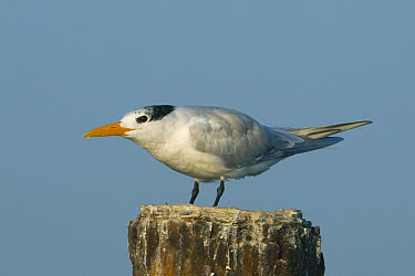 Royal Tern (Thalasseus maximus) displaying, Los Haitises National Park, Dominican Republic  -  Kevin Schafer