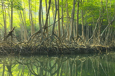 Red Mangrove (Rhizophora mangle) forest, Los Haitises National Park, Dominican Republic  -  Kevin Schafer