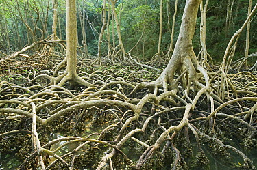 Red Mangrove (Rhizophora mangle) stilt roots, Los Haitises National Park, Dominican Republic  -  Kevin Schafer