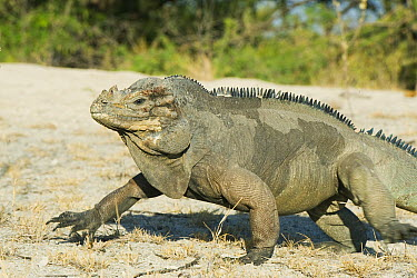 Rhinoceros Iguana (Cyclura cornuta) walking, Lago Enriquillo National Park, Dominican Republic  -  Kevin Schafer