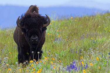 American Bison (Bison bison) bull amid wildflowers, National Bison Range, Moise, Montana  -  Donald M. Jones
