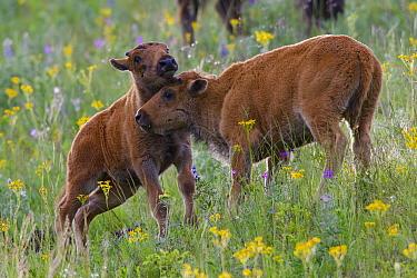 American Bison (Bison bison) calves nuzzling, National Bison Range, Moise, Montana  -  Donald M. Jones