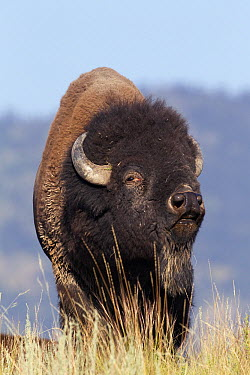 American Bison (Bison bison) bull smelling air for receptive females, National Bison Range, Moise, Montana  -  Donald M. Jones