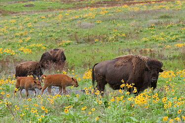 American Bison (Bison bison) females with calves, National Bison Range, Moise, Montana  -  Donald M. Jones