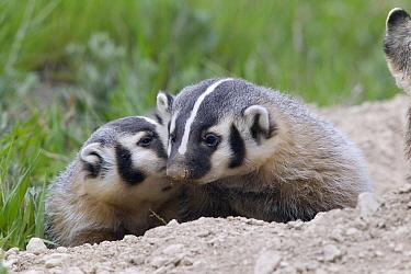 American Badger (Taxidea taxus) kits nuzzling, National Bison Range, Moise, Montana  -  Donald M. Jones