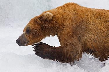 Grizzly Bear (Ursus arctos horribilis) scratching itself while standing in river, Brooks Falls, Alaska  -  Donald M. Jones