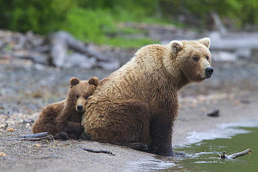 Grizzly Bear (Ursus arctos horribilis) cub leaning against mother, Brooks Falls, Alaska  -  Donald M. Jones