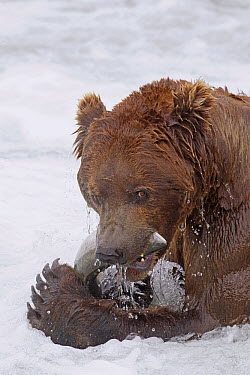 Grizzly Bear (Ursus arctos horribilis) eating Sockeye Salmon (Oncorhynchus nerka), Brooks Falls, Alaska  -  Donald M. Jones