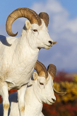 Dall's Sheep (Ovis dalli) rams, Denali National Park, Alaska  -  Donald M. Jones
