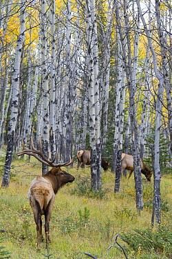 Elk (Cervus elaphus) bull with females in forest, Jasper National Park, Alberta, Canada  -  Donald M. Jones