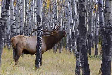 Elk (Cervus elaphus) bull bugling, Jasper National Park, Alberta, Canada  -  Donald M. Jones