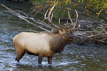 Elk (Cervus elaphus) bull in river, National Bison Range, Moise, Montana  -  Donald M. Jones