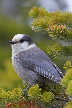 Canada Jay (Perisoreus canadensis), Yaak, Montana  -  Donald M. Jones
