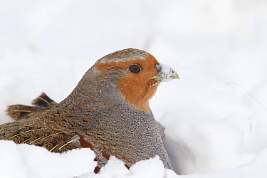European Partridge (Perdix perdix) in snow, National Bison Range, Moise, Montana  -  Donald M. Jones
