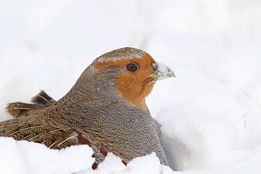 European Partridge (Perdix perdix) in snow, National Bison Range, Moise, Montana  -  Donald M. Jones