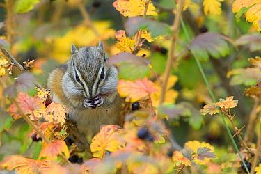 Least Chipmunk (Tamias minimus) feeding on berry, Kootenai National Forest, Montana  -  Donald M. Jones