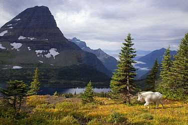 Mountain Goat (Oreamnos americanus) in alpine meadow, Glacier National Park, Montana  -  Donald M. Jones