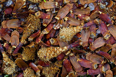 Red Squirrel (Tamiasciurus hudsonicus) pinecone food cache, Jasper National Park, Alberta, Canada  -  Donald M. Jones