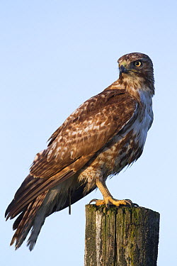 Red-tailed Hawk (Buteo jamaicensis) sub-adult perching on a post, Mission Valley, western Montana  -  Donald M. Jones