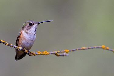 Rufous Hummingbird (Selasphorus rufus) female, Troy, Montana  -  Donald M. Jones