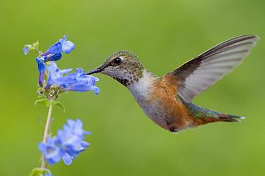 Rufous Hummingbird (Selasphorus rufus) female feeding on flower nectar, Troy, Montana  -  Donald M. Jones