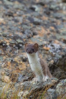 Short-tailed Weasel (Mustela erminea), Denali National Park, Alaska  -  Donald M. Jones