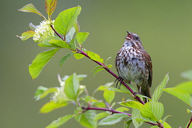 Song Sparrow (Melospiza melodia) calling, Troy, Montana  -  Donald M. Jones
