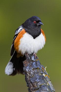 Spotted Towhee (Pipilo maculatus) male, Troy, Montana  -  Donald M. Jones
