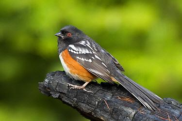 Spotted Towhee (Pipilo maculatus), Troy, Montana  -  Donald M. Jones