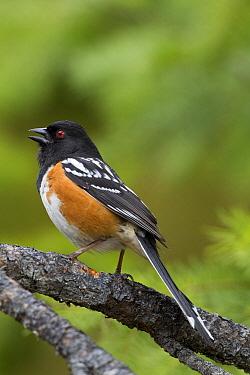 Spotted Towhee (Pipilo maculatus) male calling, Troy, Montana  -  Donald M. Jones