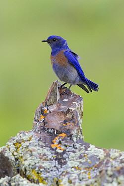 Western Bluebird (Sialia mexicana) male, Mission Valley, western Montana  -  Donald M. Jones