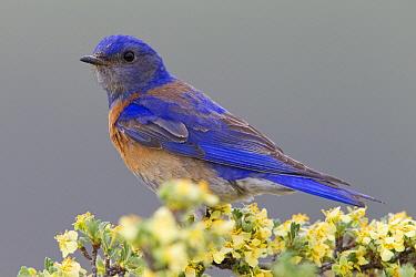 Western Bluebird (Sialia mexicana) female, Mission Valley, western Montana  -  Donald M. Jones