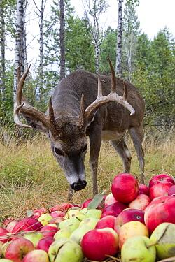 White-tailed Deer (Odocoileus virginianus) buck feeding on apples, western Montana  -  Donald M. Jones