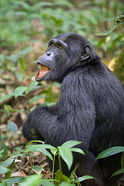 Chimpanzee (Pan troglodytes) showing interest in something above, seen by drooping lower lip, western Uganda  -  Suzi Eszterhas