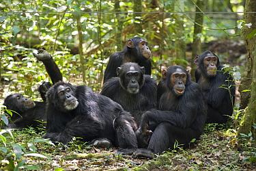 Chimpanzee (Pan troglodytes) group resting on forest floor, western Uganda  -  Suzi Eszterhas