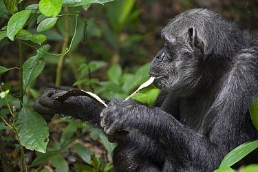 Chimpanzee (Pan troglodytes) feeding on Chebakwa (Neoboutonia macrocalyx) wood, western Uganda  -  Suzi Eszterhas