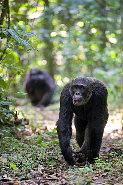 Chimpanzee (Pan troglodytes) pair on tropical forest path, western Uganda  -  Suzi Eszterhas
