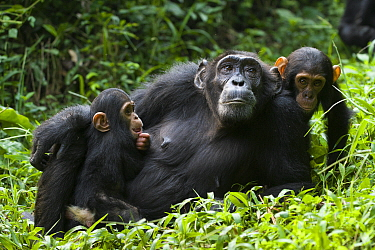 Chimpanzee (Pan troglodytes) mother resting with four month old infant with older baby from other mother to the side, western Uganda