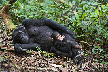 Chimpanzee (Pan troglodytes) mother with four month old infant, western Uganda  -  Suzi Eszterhas