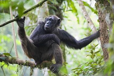Chimpanzee (Pan troglodytes) female resting in tree, western Uganda  -  Suzi Eszterhas