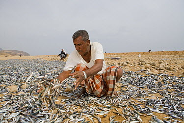 Indian Oil Sardine (Sardinella longiceps) harvest spread out by fisherman to be dried for three days and subsequently fed to Dromedary (Camelus dromedarius) camels, Hawf Protected Area, Yemen  -  Sebastian Kennerknecht