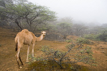 Dromedary (Camelus dromedarius) camel sub-adult in cloud forest, Hawf Protected Area, Yemen  -  Sebastian Kennerknecht