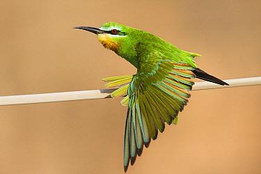 Blue-cheeked Bee-eater (Merops persicus) stretching wing, Hawf Protected Area, Yemen  -  Sebastian Kennerknecht