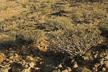 Spurge (Euphorbia balsamifera) bushes on desert plateau, Hawf Protected Area, Yemen  -  Sebastian Kennerknecht