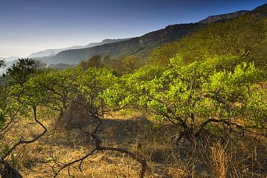Hop Bush (Dodonaea viscosa) shrubland at sunset, Hawf Protected Area, Yemen  -  Sebastian Kennerknecht