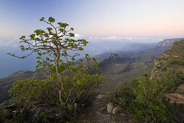 Dhofari Jatropha (Jatropha dhofarica) on cliff edge over cloud forest, Hawf Protected Area, Yemen  -  Sebastian Kennerknecht