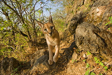 Arabian Caracal (Caracal caracal schmitzi) in cloud forest, Hawf Protected Area, Yemen  -  Sebastian Kennerknecht